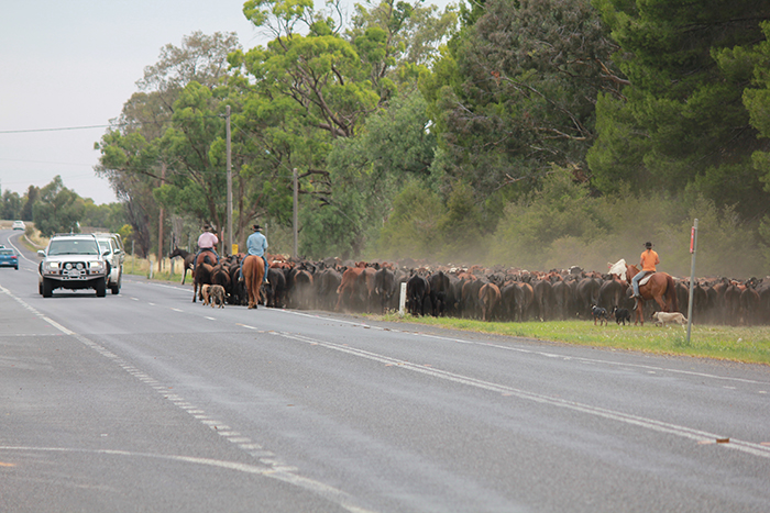 Cattle move Newell Hwy