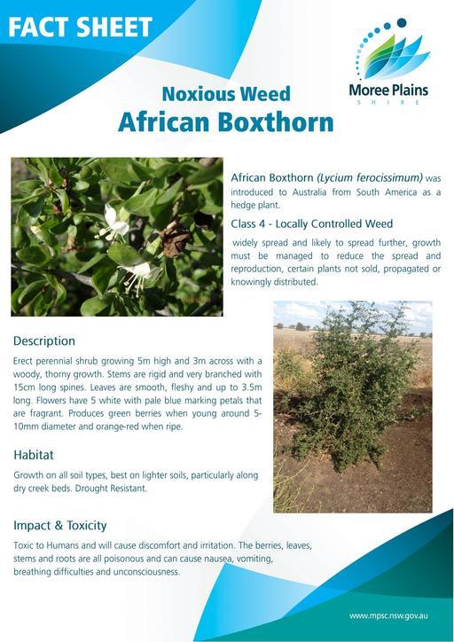 Fact Sheet   African Boxthorn