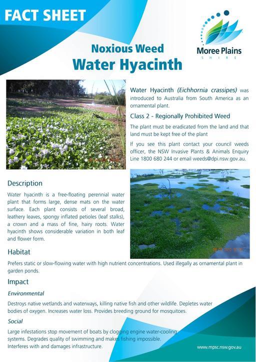 Fact Sheet   Water hyacinth